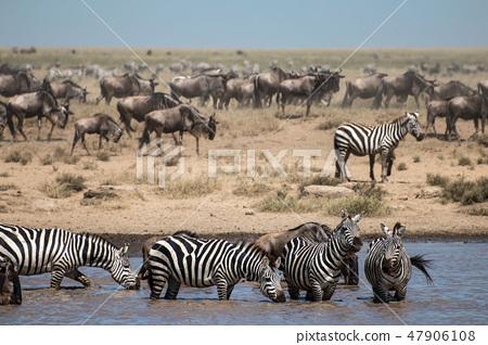 坦桑尼亞塞倫蓋蒂國家公園斑馬和一群牛羚 47906108