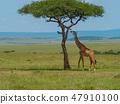 Reticulated giraffe in a Kenya 47910100