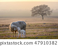 Sheep and two lambs 47910382