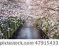 Cherry blossom lined Meguro Canal in Tokyo, Japan. 47915433
