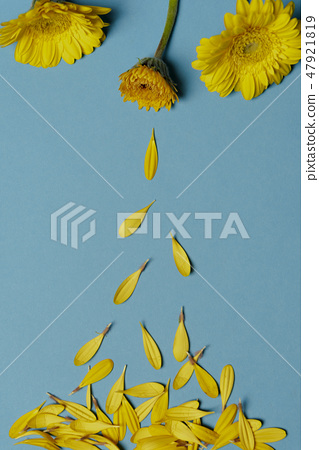 Chrysanthemum yellow flowers and falling petals 47921819