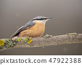 Eurasian nuthatch or wood nuthatch sitting on a perch in winter. 47922388