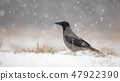 Hooded crow on snow in winter during snowfall 47922390