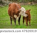 Momma Cow and Calf Sharing a Nuzzle 47926919