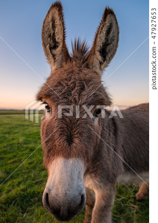 A Color Donkey Portrait at Sunset, California, USA 47927653