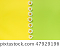 Vertical line chamomiles daisies flowers on yellow and green color paper background in minimal style 47929196