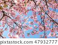 Kawazu櫻桃樹和早期的春天天空 47932777