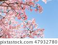 Kawazu櫻桃樹和早期的春天天空 47932780