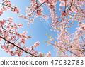 Kawazu櫻桃樹和早期的春天天空 47932783