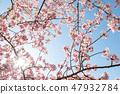 Kawazu櫻桃樹和早期的春天天空 47932784