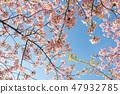 Kawazu櫻桃樹和早期的春天天空 47932785
