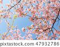 Kawazu櫻桃樹和早期的春天天空 47932786