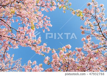 Kawazu櫻桃樹和早期的春天天空 47932788