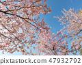 Kawazu櫻桃樹和早期的春天天空 47932792