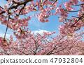 Kawazu櫻桃樹和早期的春天天空 47932804