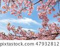 Kawazu櫻桃樹和早期的春天天空 47932812
