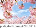 Kawazu櫻桃樹和早期的春天天空 47932814