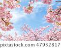 Kawazu櫻桃樹和早期的春天天空 47932817