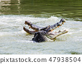 Two crocodiles are fighting in the water. 47938504