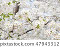 sakura flower blossom on tree in spring seasonal 47943312