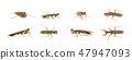 Camouflaged bark mantis (Liturgusa sp.) Insect.  47947093