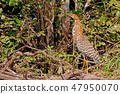 Juvenile young Rufescent Tiger Heron, Tigrisoma Lineatum, in the nature habitat near Porto Jofre 47950070