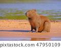 水豚 野生生物 動物 47950109
