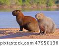 水豚 野生生物 動物 47950136