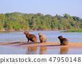水豚 野生生物 動物 47950148