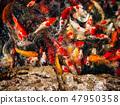 Koi fishes group swiming. 47950358