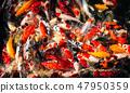 Koi fishes group swiming. 47950359
