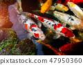Koi fishes group swiming. 47950360
