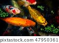 Koi fishes group swiming. 47950361