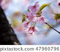 【카나가와 현】 마쓰다 정 카와 벚꽃 47960796