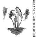 토란 잎 수묵화 모노톤 47971490