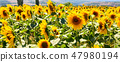 Field of beautiful sunflowers, landscape 47980194