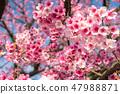 taiwan,Yangmingshan,flower,pink,spring 47988871