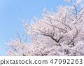 กลีบดอกในท้องฟ้าสีฟ้าและดอกซากุระบานเต็ม 47992263