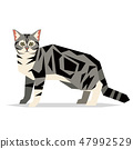 American Shorthair Cat Breed on white background 47992529