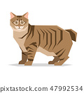 American Bobtail Cat Breed on white background 47992534
