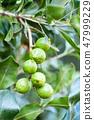 Macadamia nut tree growing in organic field 47999229