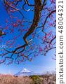 (Shizuoka Prefecture) Plums of Iwamotoyama Park and Mt. Fuji 48004321