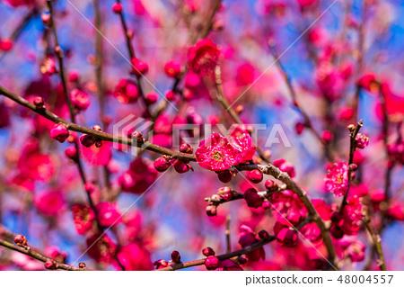梅植物開花 48004557