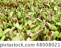 Sunflower sprout  48008021