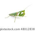 Praying mantis , on white background. 48012838