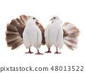 male and female dove peacock isolated 48013522