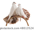 male and female dove peacock isolated 48013524
