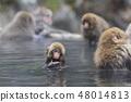 지고 쿠 다니 야생 원숭이 공 원의 스노우 몽키 48014813