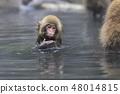 지고 쿠 다니 야생 원숭이 공 원의 스노우 몽키 48014815