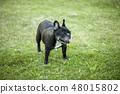 法国斗牛犬 48015802